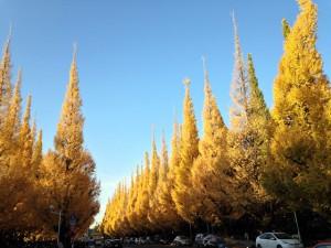 Autumn Leaves of Gingko Gaien-Dori