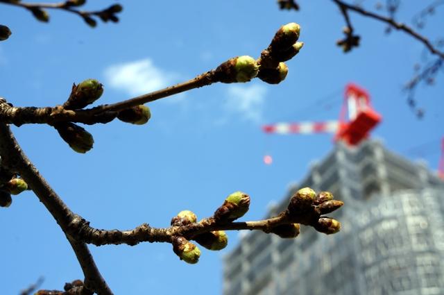「Park CITY パークシティ大崎ザ・タワー」 目黒川の桜 2014.3.23