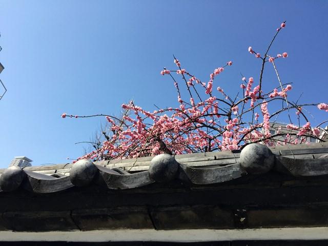 報土寺の梅 2015.3.2