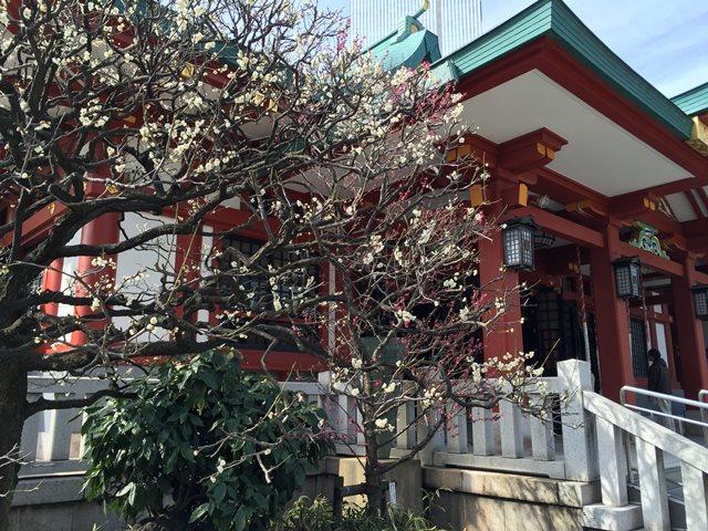 日枝神社の梅 2015年3月上旬