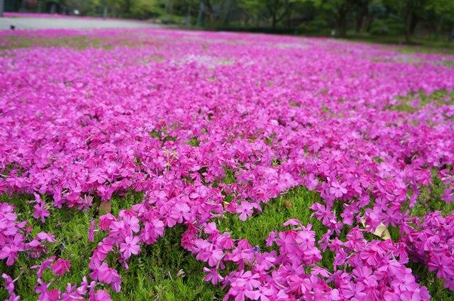 三田の芝桜 2015年4月19日